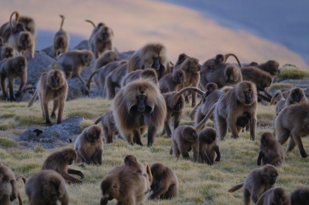gelada monkey, simien mountains, ethiopia, evan williams, wikimedia