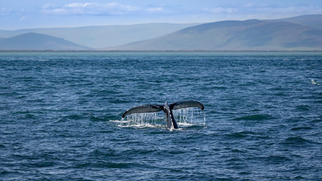 Húsavík Whale Iceland by Michael Behrens Unsplash