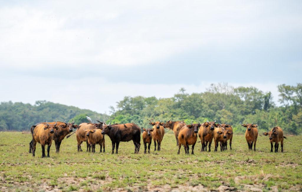 Buffalo, when to visit Gabon, mbrand85, Shutterstock