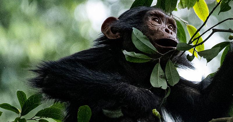 Chimp, Nyungwe, Rwanda, Wookiemedia, Wikimedia Commons