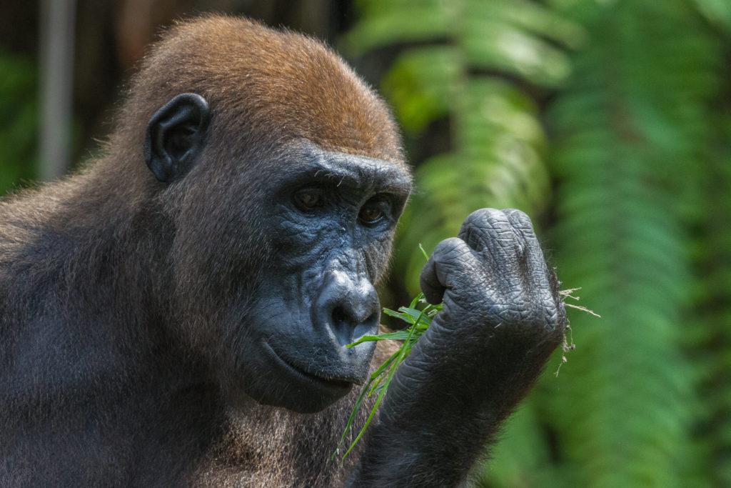 fernan vaz gorilla project, gabon, Gregoire Dubois, flickr