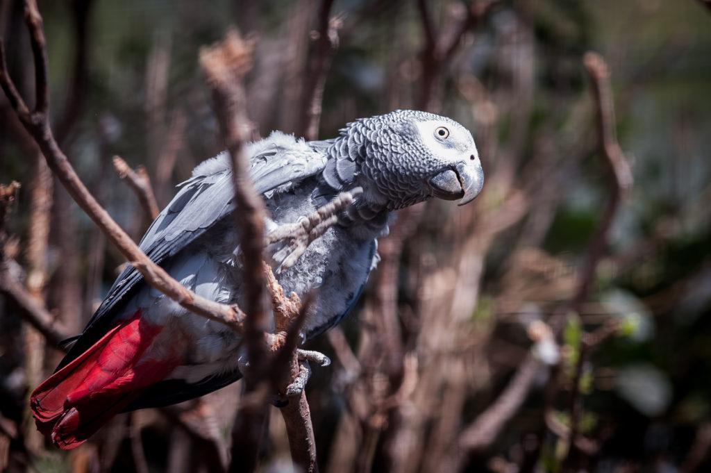 grey parrot, when to visit gabon, PicksArt, Shutterstock