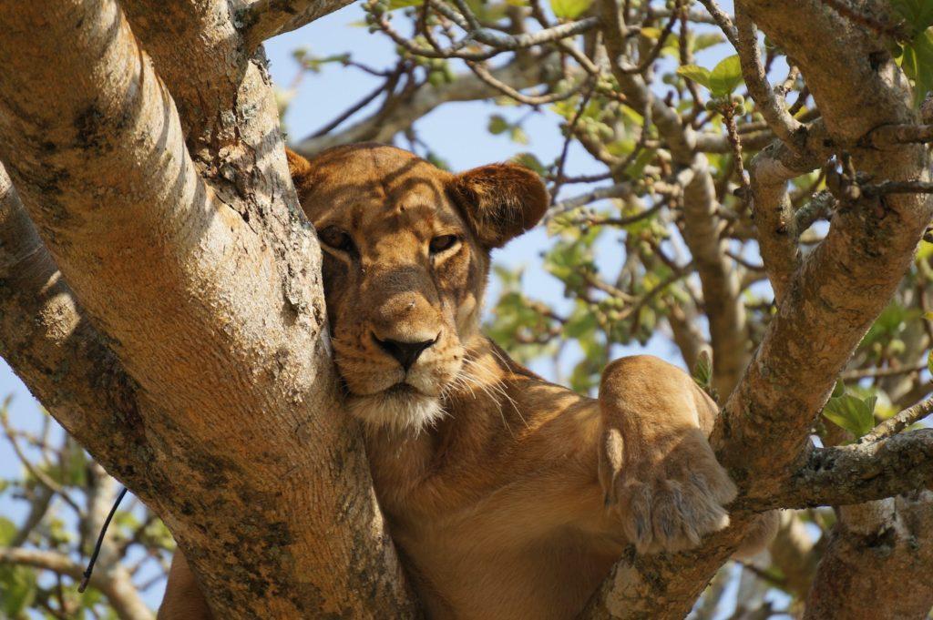 Tree Climbing Lion Ishasha Plains Queen Elizabeth National Park by Maarten van den Heuvel Unsplash