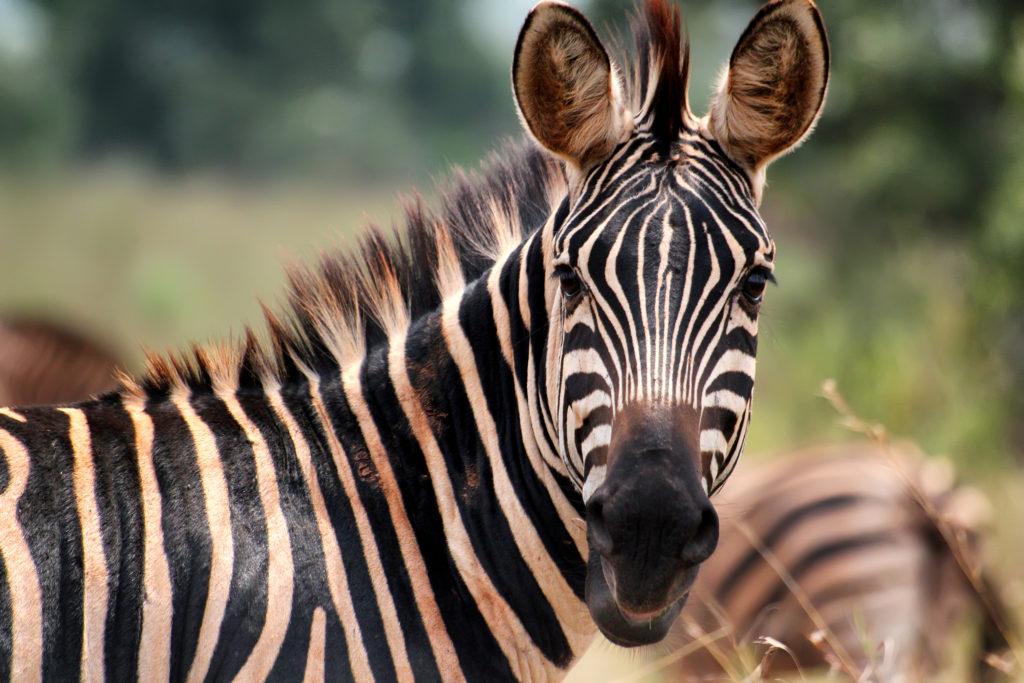 zebra, akagera, rwanda, Goran Bogicevic, shutterstock