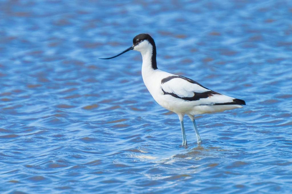 Avocet Migrant Bird Devon by SanderMeertinsPhotography Shutterstock