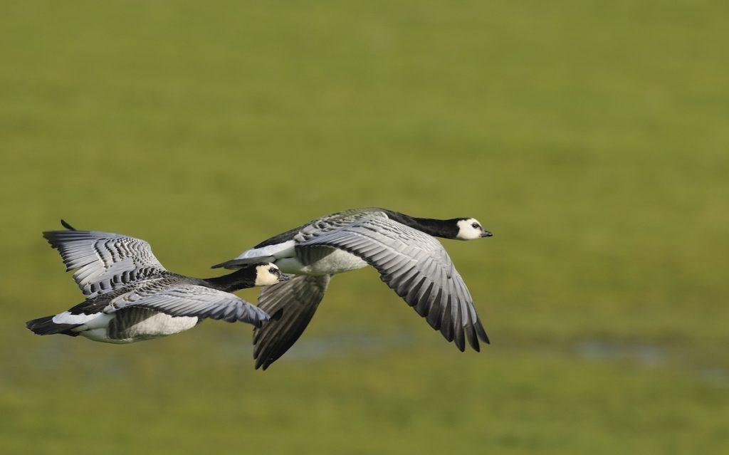 Barnacle Geese Birdwatching UK WWT Caerlaverock Dumfries and Galloway by Keith K Shutterstock
