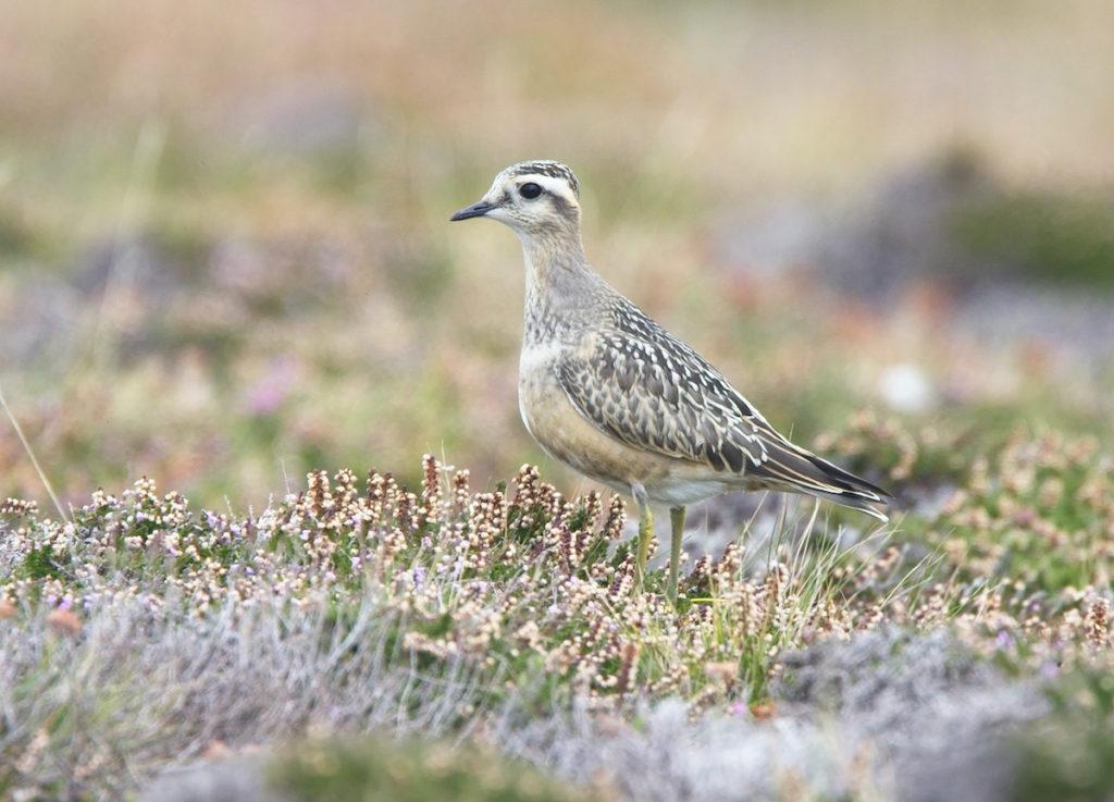 Eurasian dotterel Cornwall Birdwatching UK by tony mills, Shutterstock