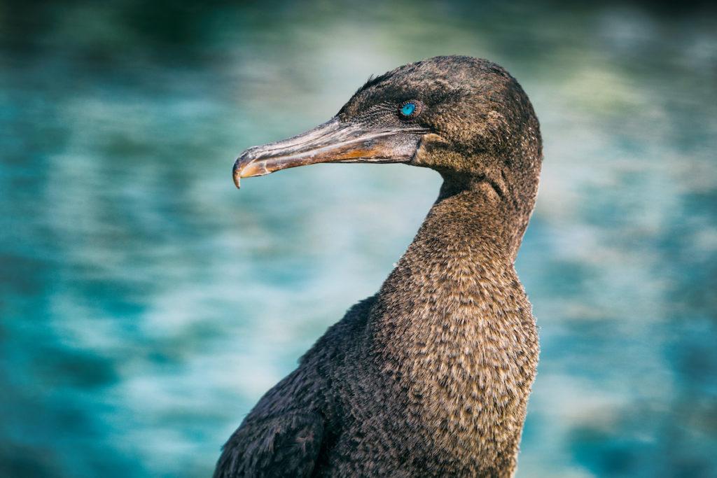 Flightless Cormorant Fernandina Galapagos Islands by Maridav Shutterstock