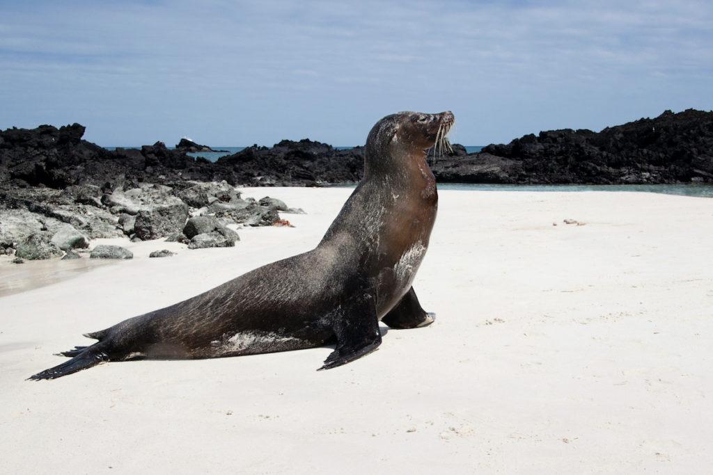 Galapagos Fur Seal Beach Galápagos Islands endemic wildlife by LisaBB Shutterstock