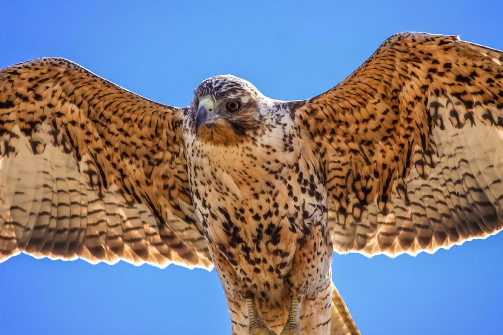 Galapagos Hawk in flight Bartolome Galápagos Islands endemic wildlife by Uwe Bergwitz Shutterstock