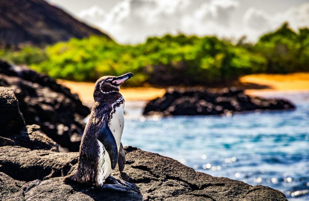 Galapagos Penguin Galapagos Islands by Joseph Dube-Arsenault Shutterstock