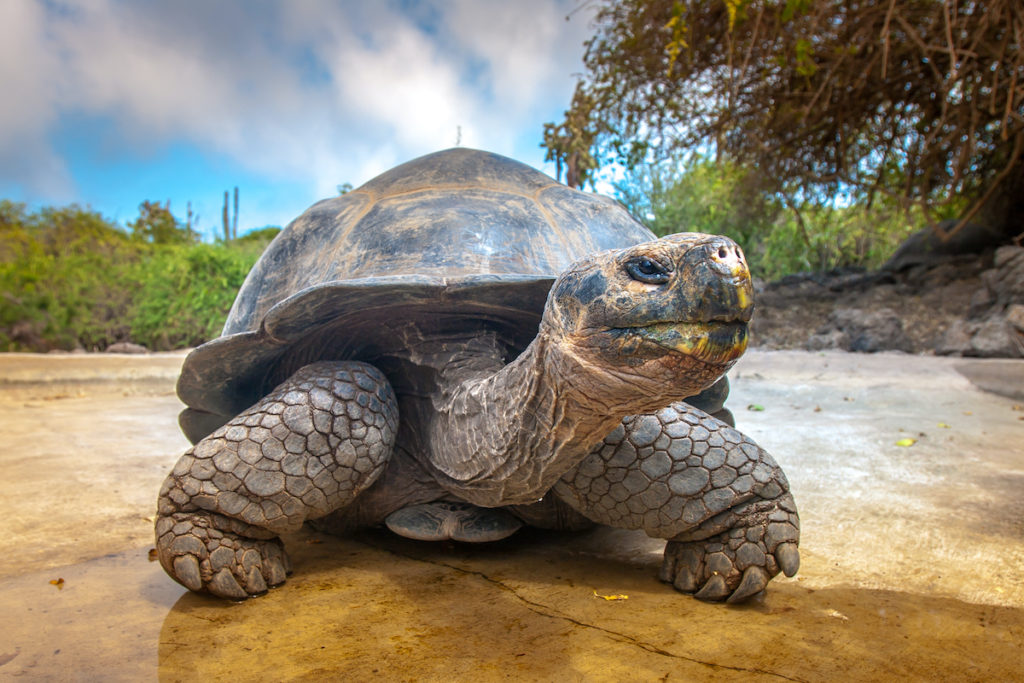 Giant tortoise endemic wildlife Galapagos by FOTOGRIN Shutterstock