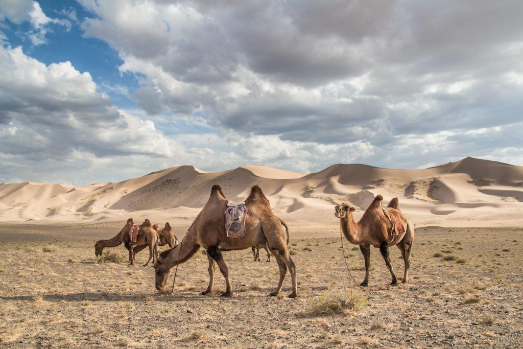 Bactrian Camels Gobi Gurvansaikhan National Park Mongolia by Jakub Czajkowski Shutterstock