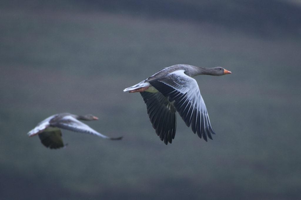 Greylag Goose Orkney Scotland by Petr Jelinek Shutterstock