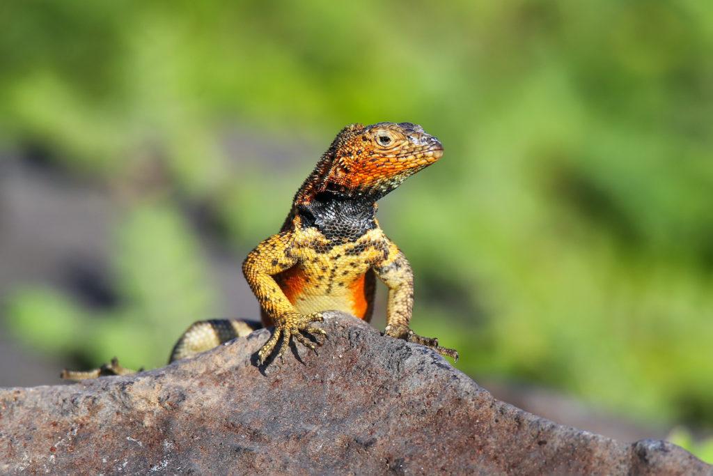 Lava Lizard Espanola Island endemic wildlife Galapagos by Don Mammoser Shutterstock