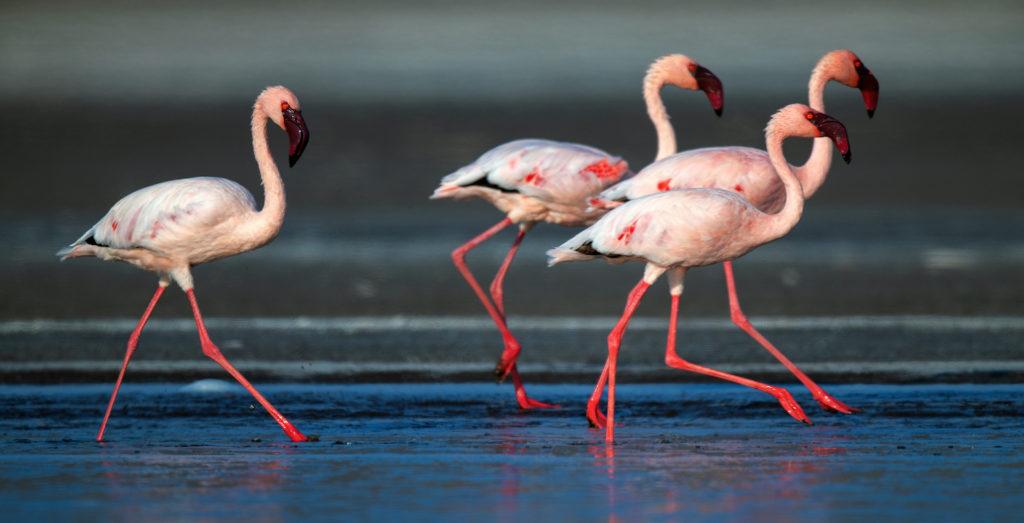 Flamingos Close Up Lake Natron Tanzania by Srgey Uryadnikov, Shutterstock