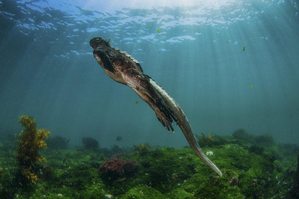 Marine iguana underwater Galapagos islands by Any Deitsch Shutterstock