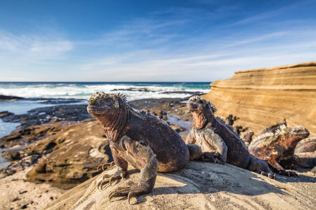 Marine iguanas bathing in the sun Galápagos Islands by Maridav Shutterstock