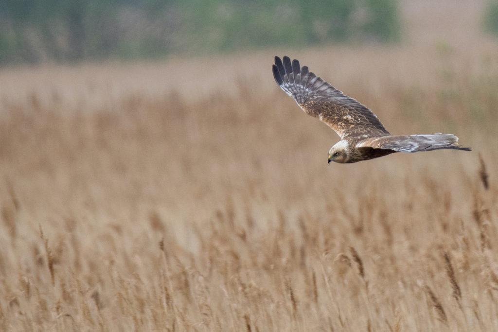 Marsh harrier RSPB Minsmere Suffolk Birdwatching UK by Chris Barber71 Shutterstock