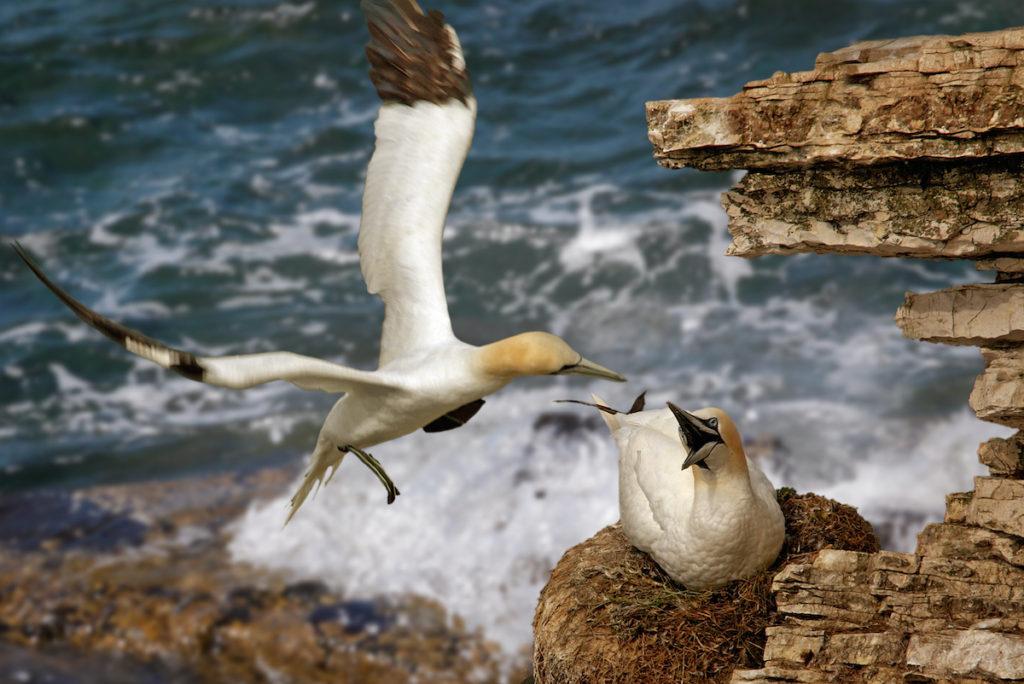 Northern Gannet Bempton Cliffs Yorkshire by Tony Brindley Shutterstock