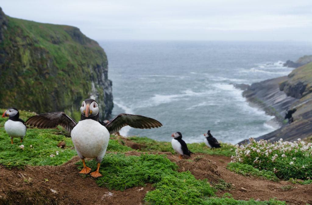 Puffins Skomer Island Pembrokeshire Wales Birdwatching UK by Michael Thaler Shutterstock