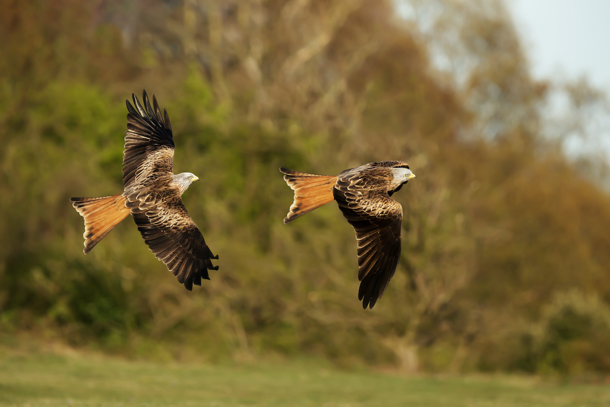 Red kites in flight in the Chilterns by Giedriius Shutterstock