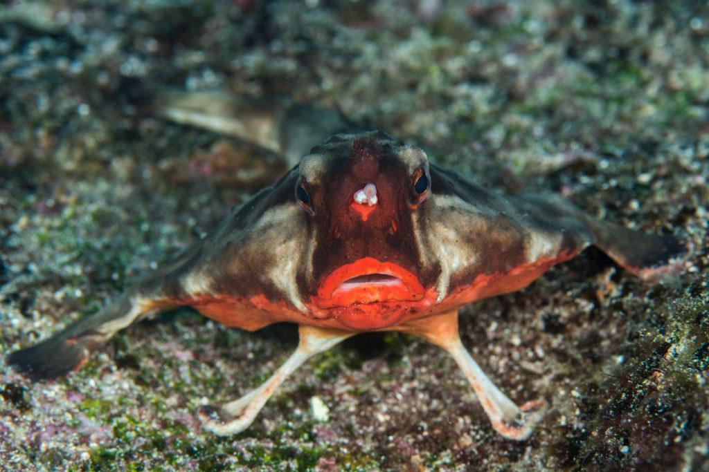 Red-lipped batfish endemic Galapagos wildlife Islands Ricardo_Dias Shutterstock