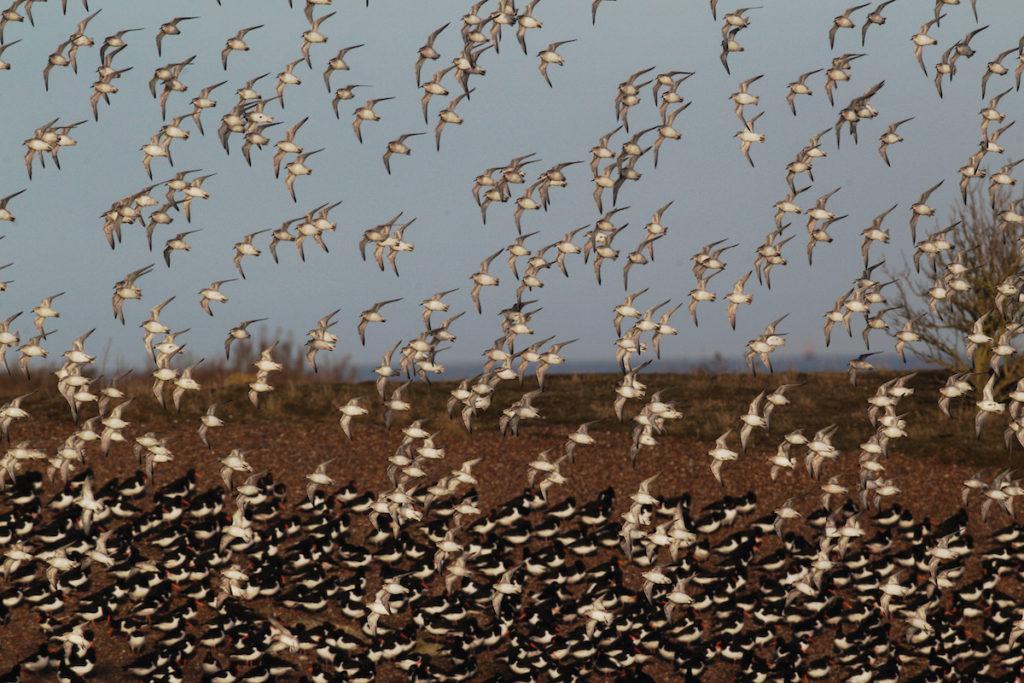 Snettisham RSPB Reserve Birdwatching UK Norfolk by Erni Shutterstock