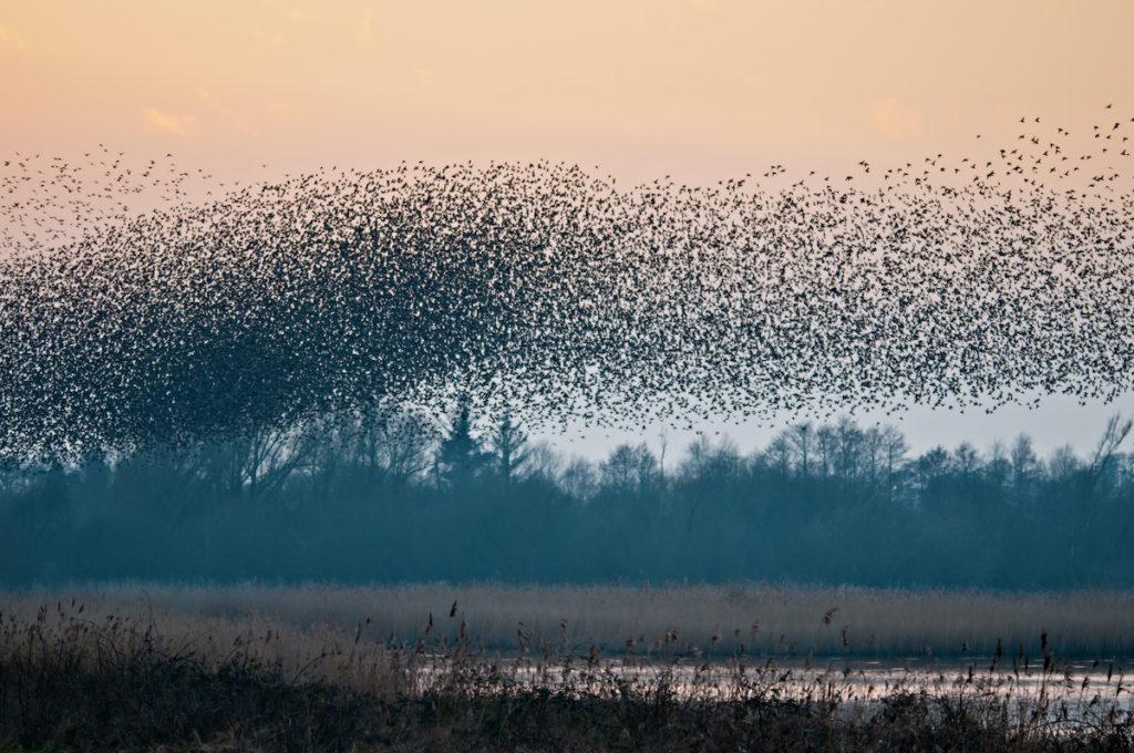 Starling Murmuartion Birdwatching UK Somerset by Richard Evans Shutterstock