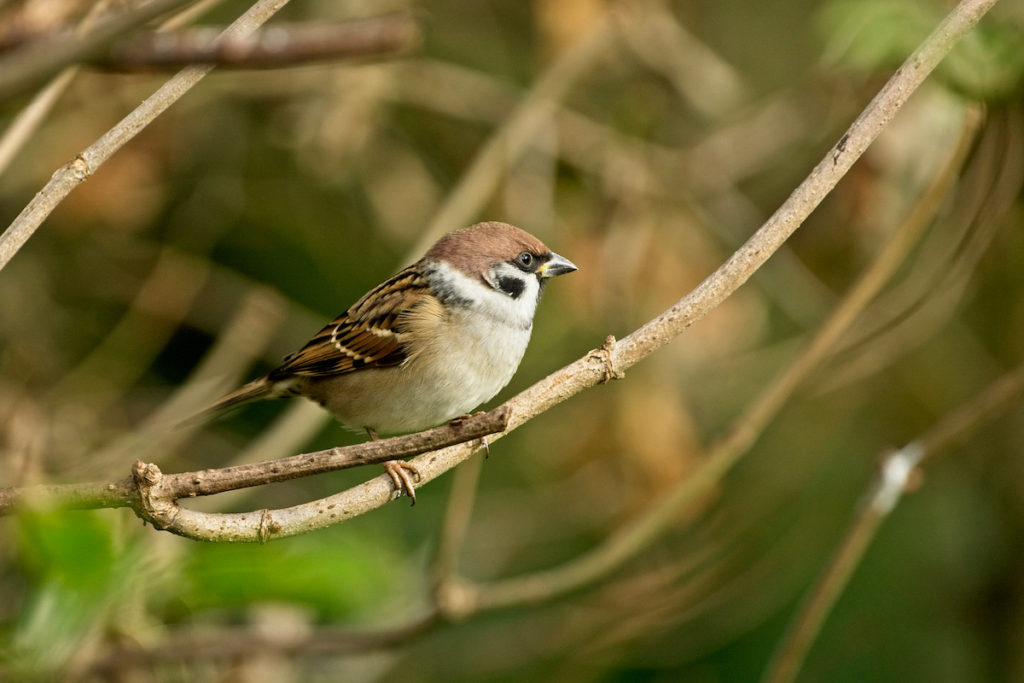 Tree Sparrow Ouse Washes RSPB birdwatching UK Cambridgeshire by tony mills Shutterstock