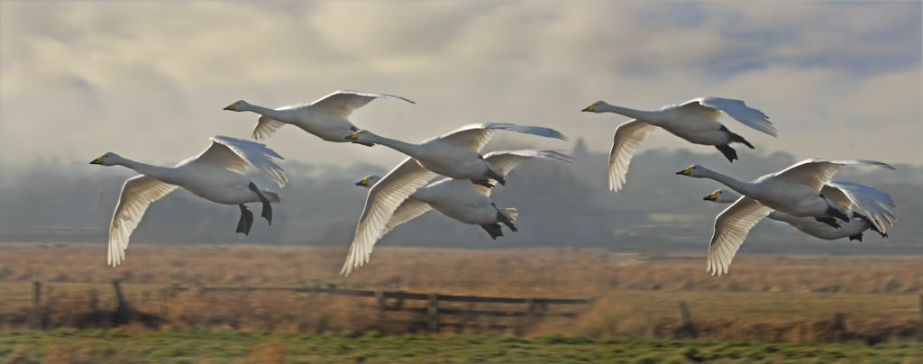 Whooper swans Martin Mere Nature Reserve Lancashire by Tony Brindley Shutterstock