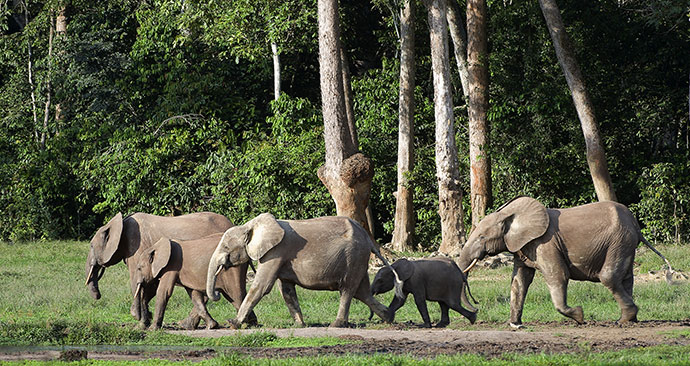 Forest elephants Congo Basin by Sergey Uryadnikov Shutterstock
