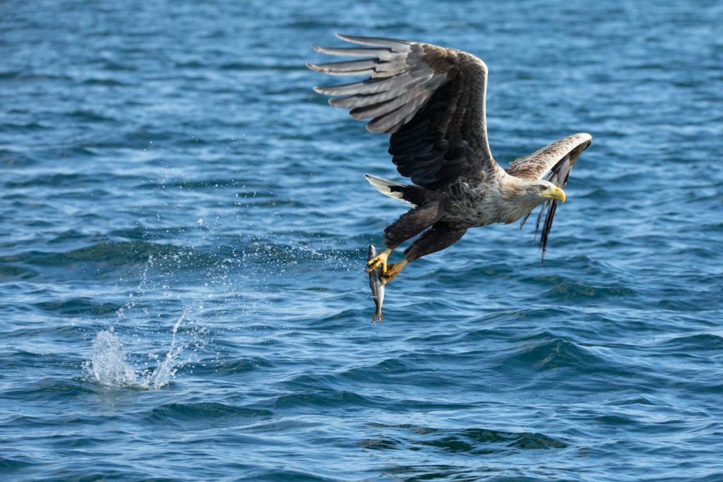 White Tailed Eagle Mull Inner Hebrides by EvolvePhoto Shutterstock
