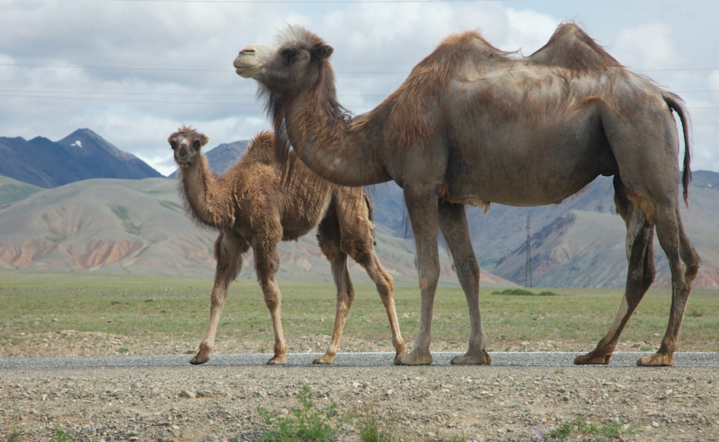 Wild Bactrian Camel Mongolia by aleksander hunta Shutterstock