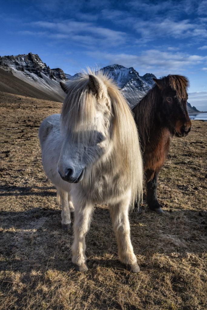 Icelandic Horses by Scott Bennett