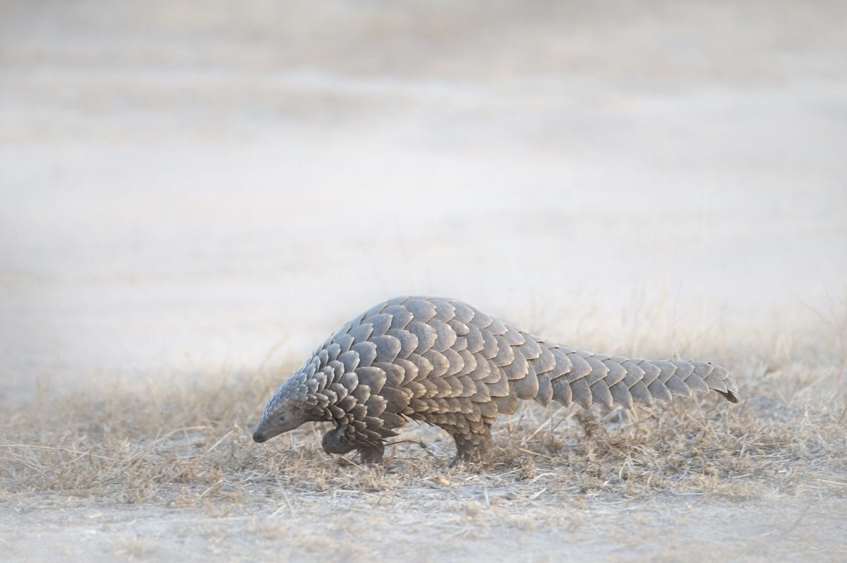 Ground Pangolin by Dawie Jacobs Photography Shutterstock