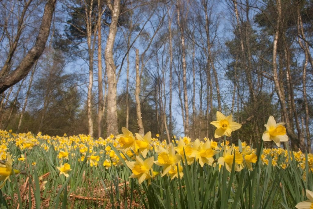 Daffodils Farndale North York Moors best places to see spring flowers by deargdoom57 Wikimedia Commons