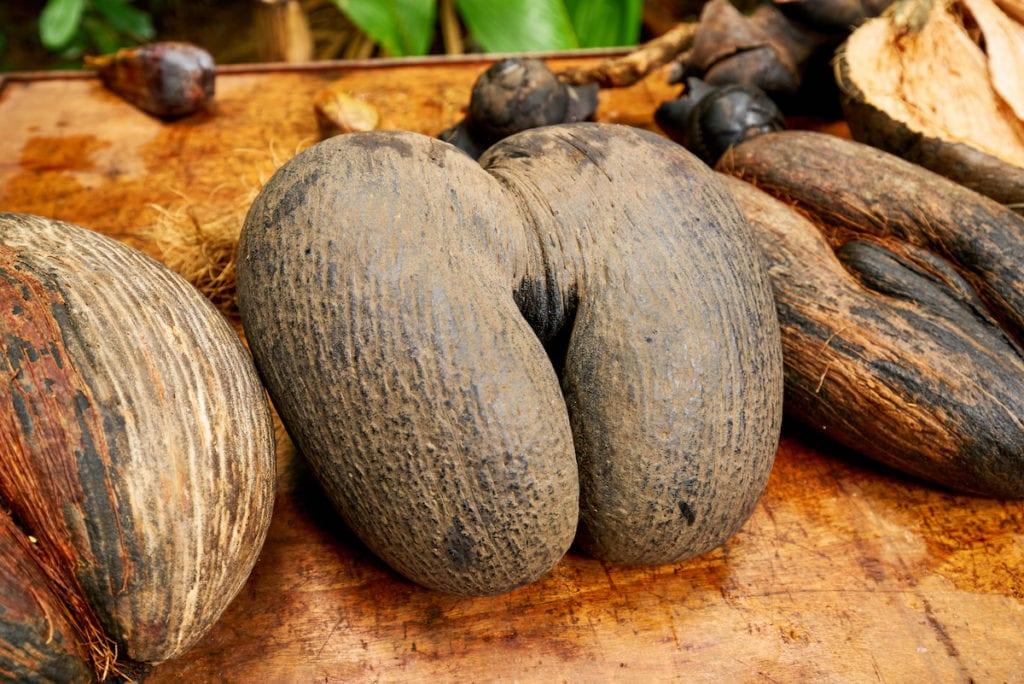 Double coconut Vallee de Mai Nature Reserve Praslin Seychelles by Ir.s Shutterstock
