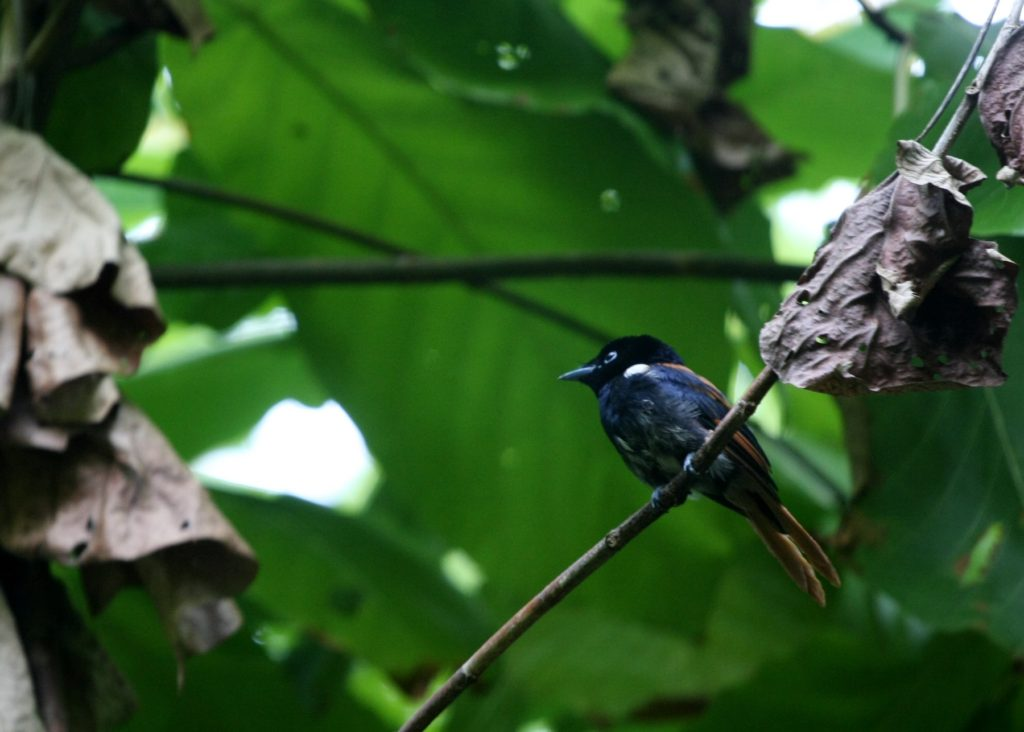 Flycatcher Seychelles nature and wildlife by Adrian Scottow Flickr