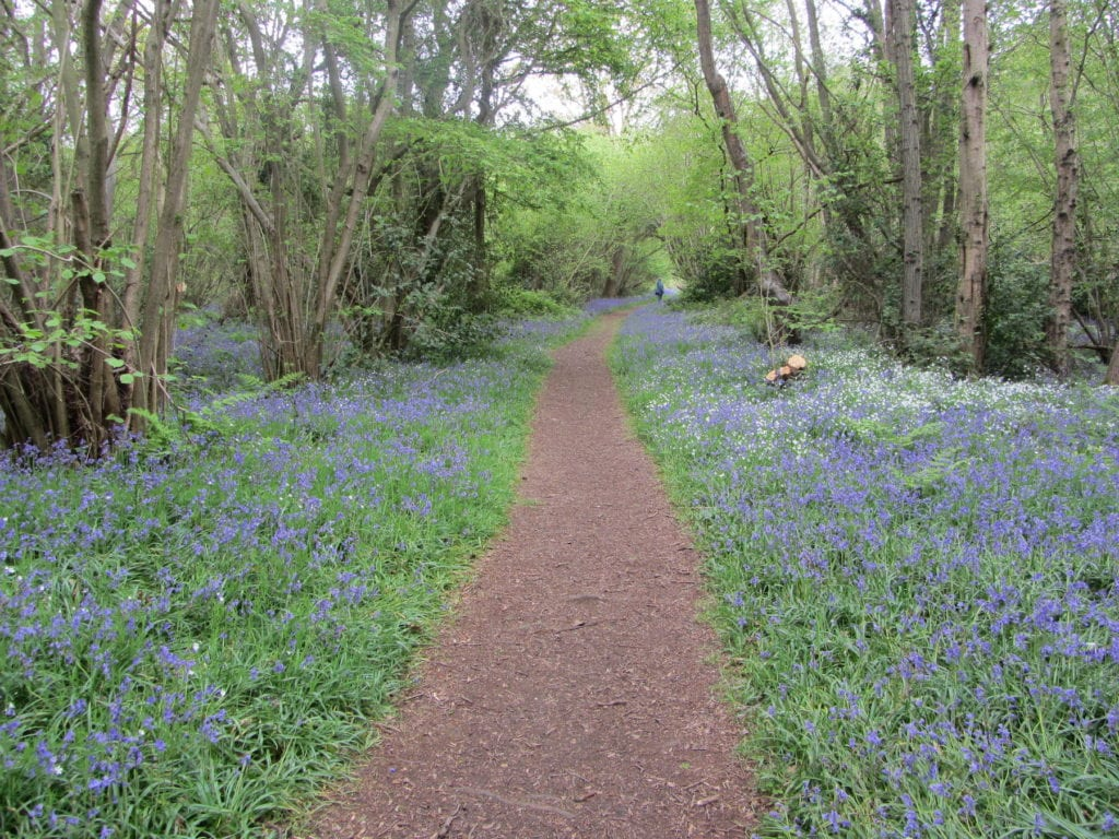 Foxley Wood Bluebell Norfolk by Explore Norfolk