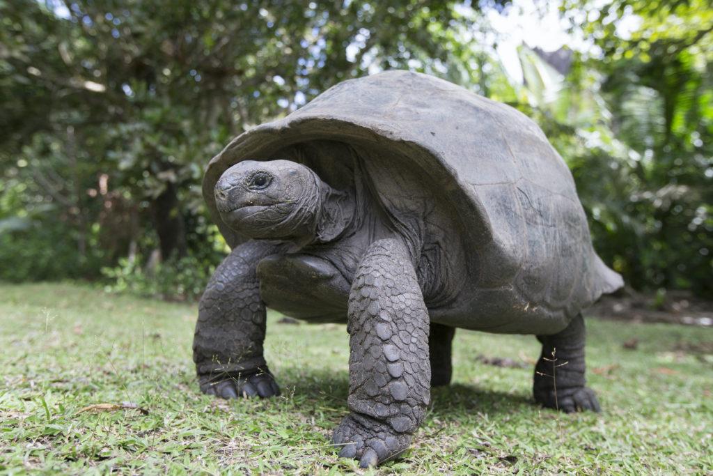 Giant Tortoise Aldabra Seychelles by Katiekk Shutterstock