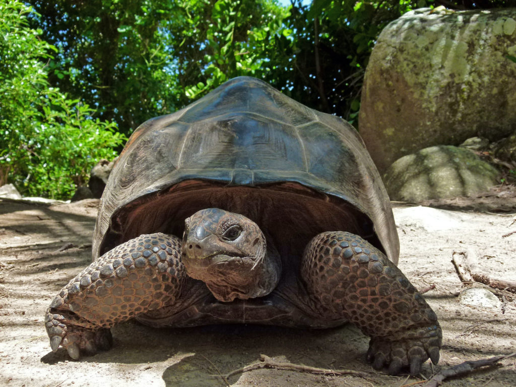 Giant Tortoise Moyenne Island National Park Seychelles by Xjschx Wikimedia Commons