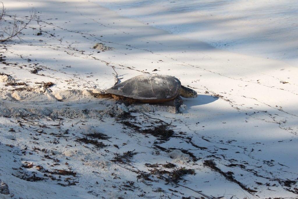 Hawksbill Turtle Bird Island Seychelles by Gerwin Sturm Flickr