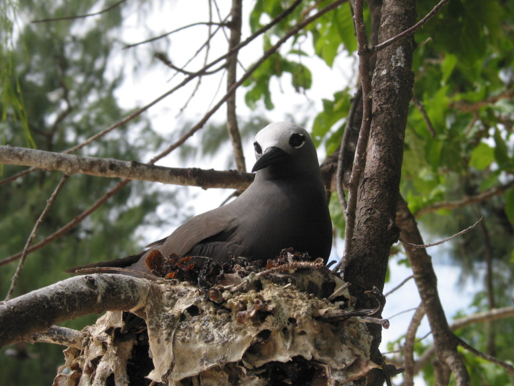 Lesser noddy Cousin Island Seychelles by fred_pnd Wikimedia Commons