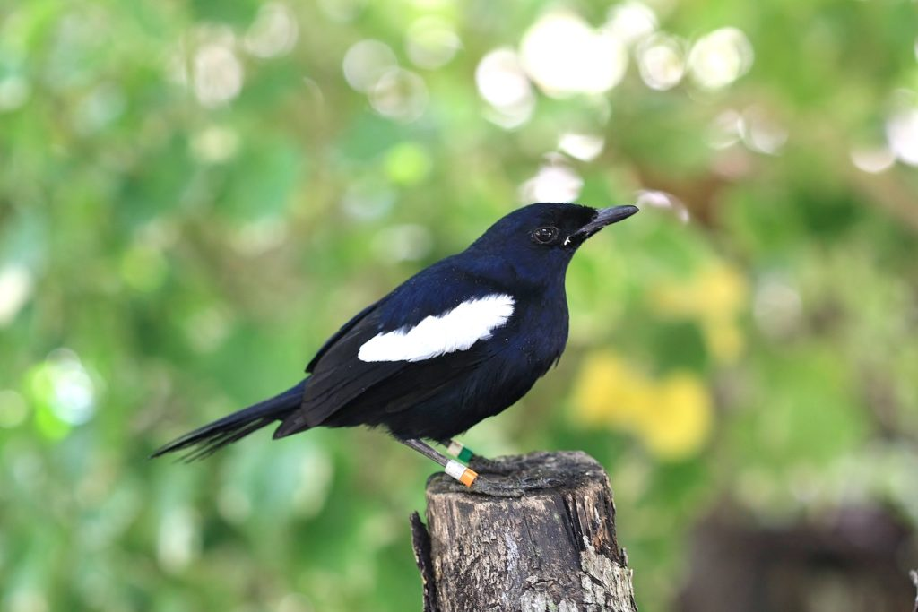 Magpie Robin Seychelles nature and wildlife by Adrian Scottow Wikimedia Commons
