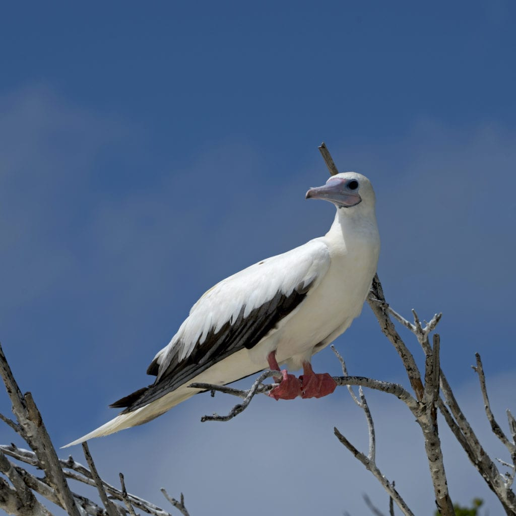 Red Footed Booby Aldabra Seychelles by Janos Rautonen Shutterstock