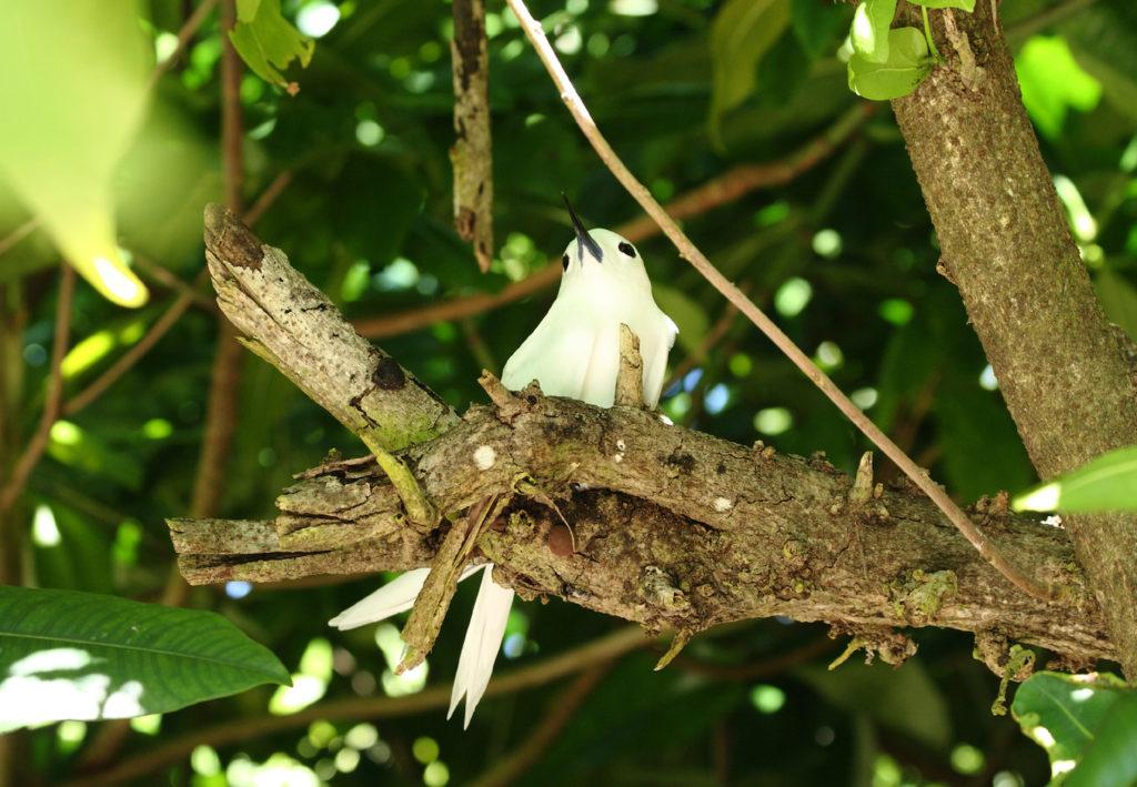 White Fairy Tern Aride Island Nature Reserve Seychelles by Remi Jouan Wikimedia Commons