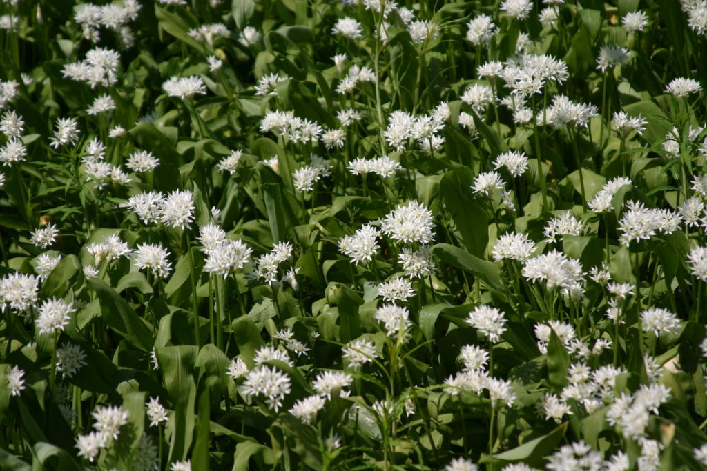 Wild garlic ransoms flower best places to see spring flowers by nickodoherty Flickr