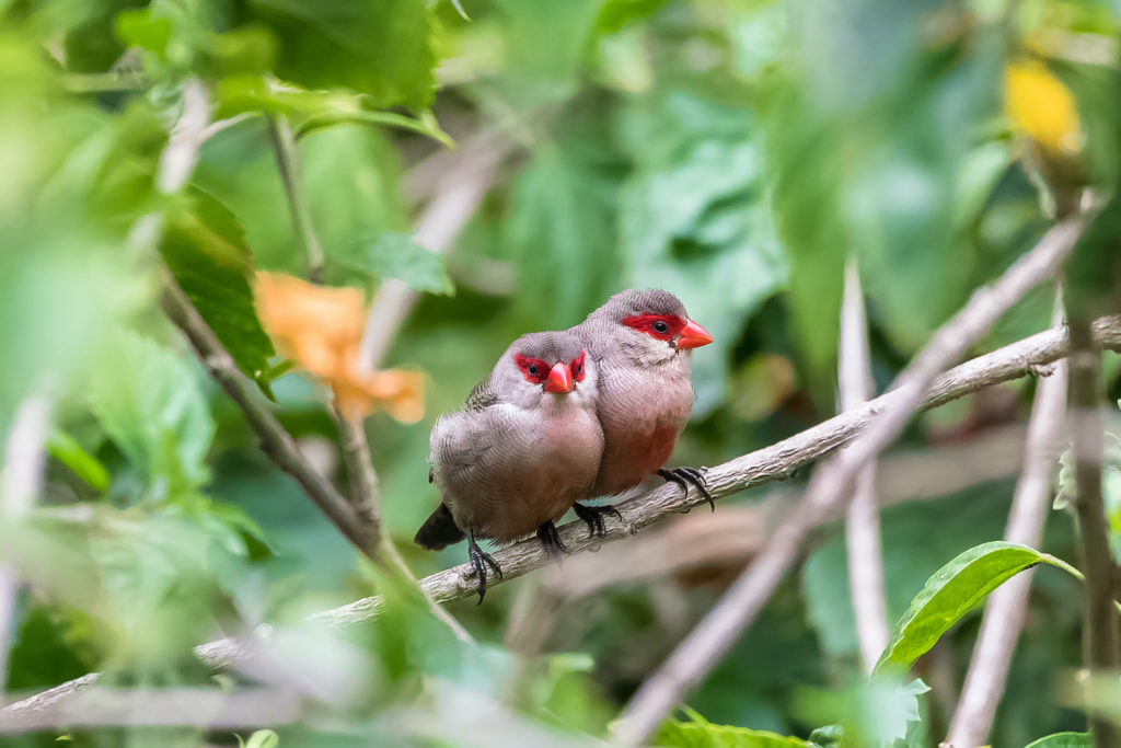 Common waxbill Sao Tome Principe by Pascale Gueret Shutterstock
