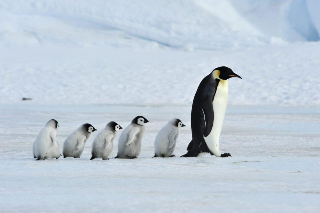 Emperor penguins Antarctica by vladsilver Shutterstock